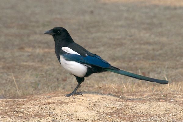Hello, Mr. Magpie